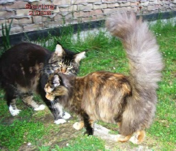 PanonHunters Maine Coons 2016